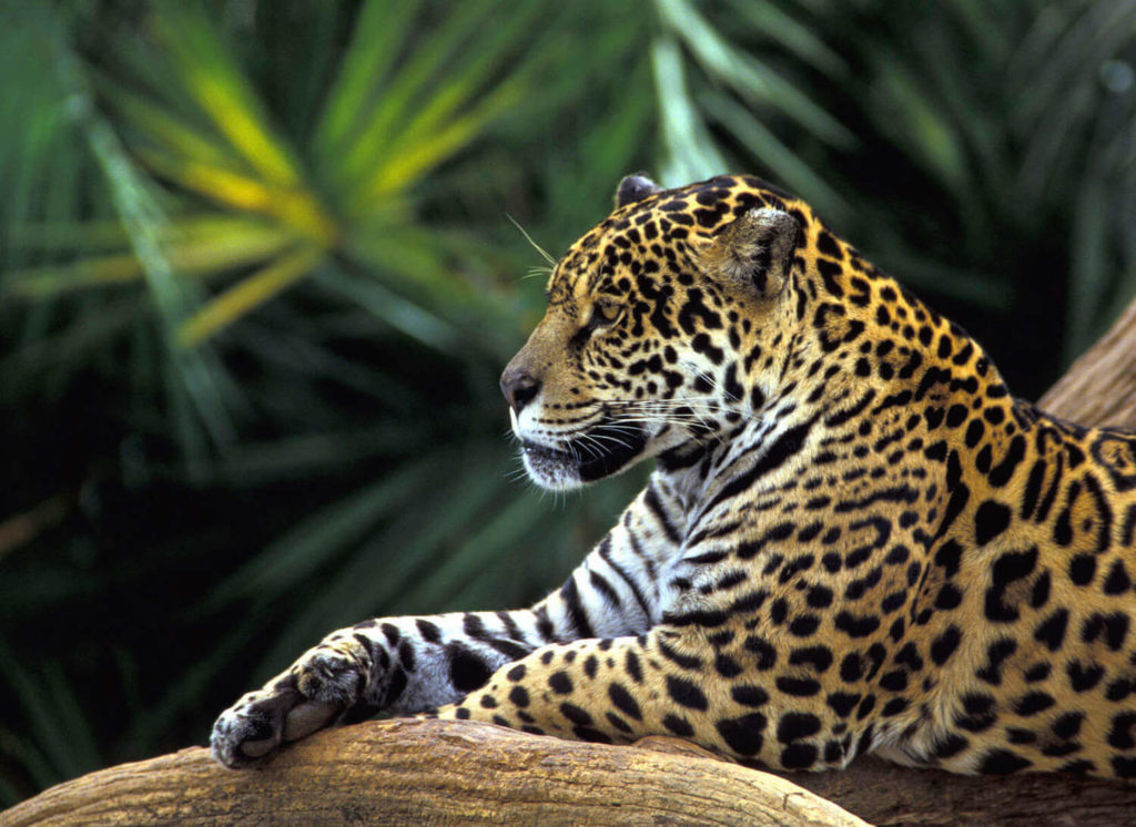 Amazon River Jaguar
