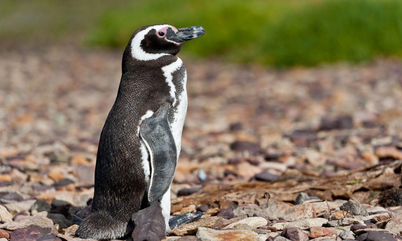 Peninsula Valdés, penguin