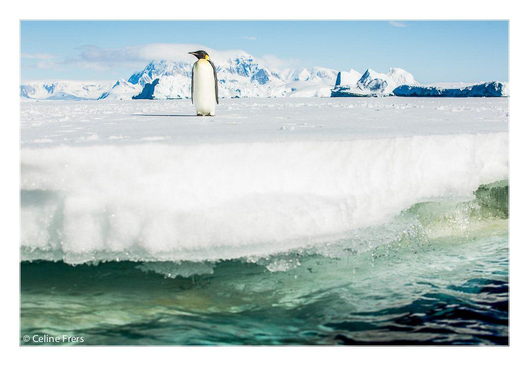 Celine Frers Antarctica Penguin