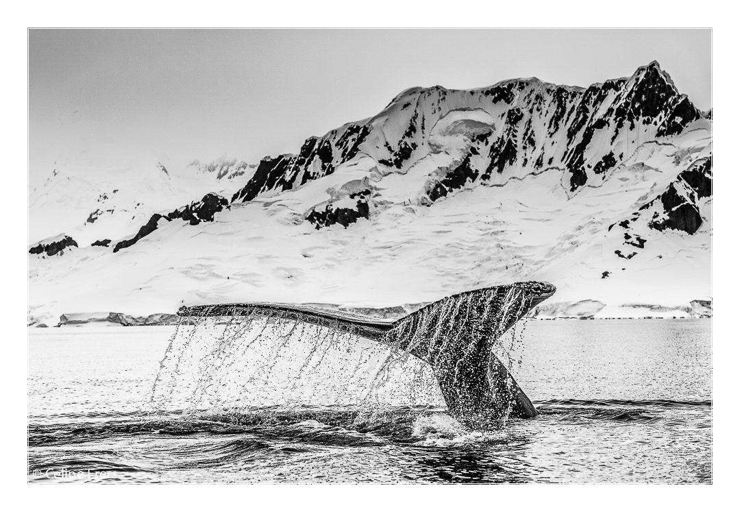 Celine Frers Antarctica Whale