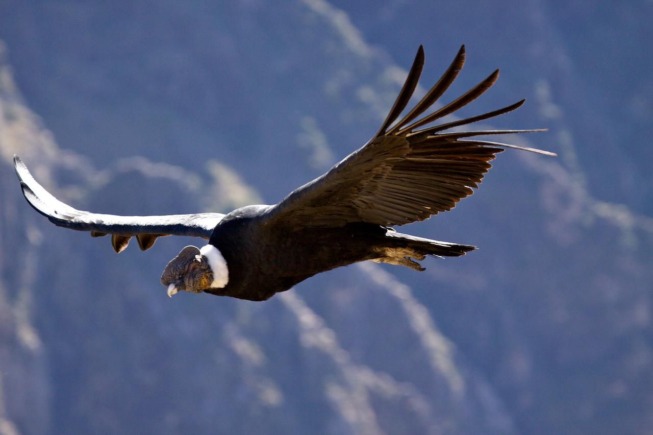 Condor, Colca Canyon
