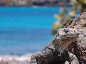 Pikaia Lodge Galapagos - Iguana