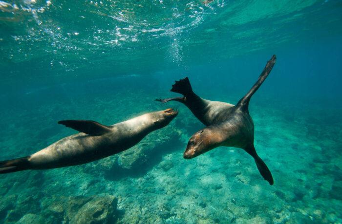 Seals swimming playing, Galapagos | | Plan South America