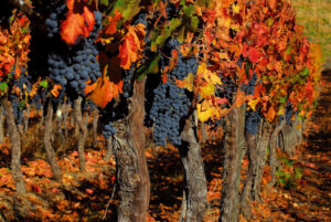 Vineyards, Chile