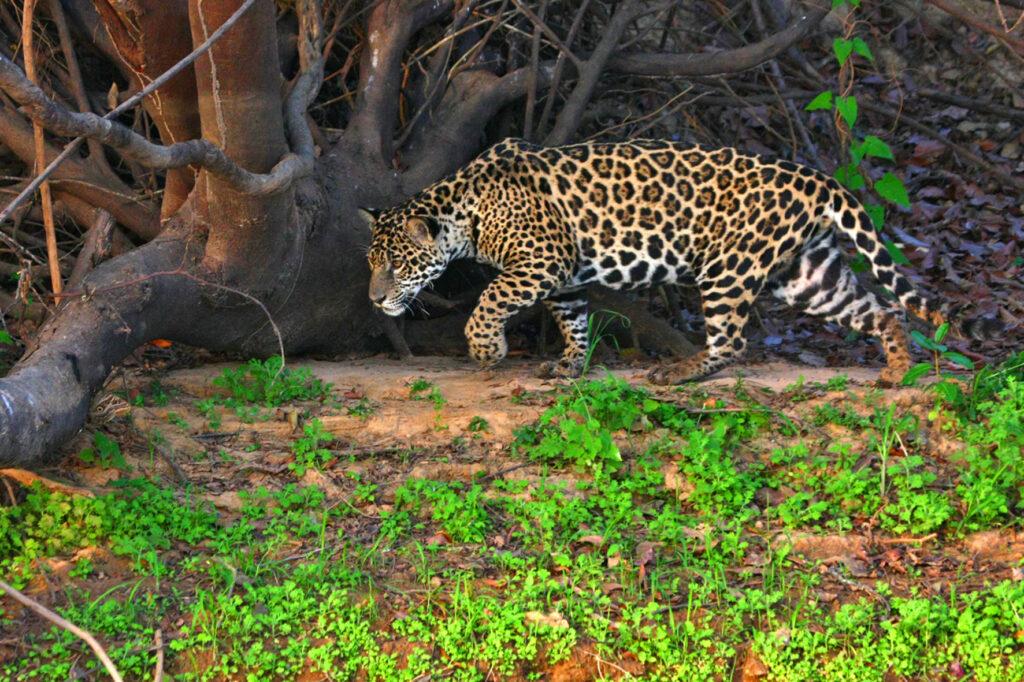 Jaguar Tracking In The Pantanal