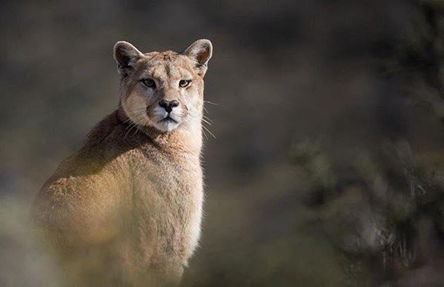 Awasi Patagonia Puma - Eduardo Hess