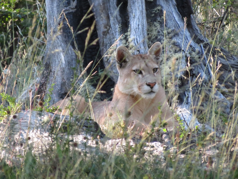 Conservation in Patagonia | The Awasi Puma Foundation