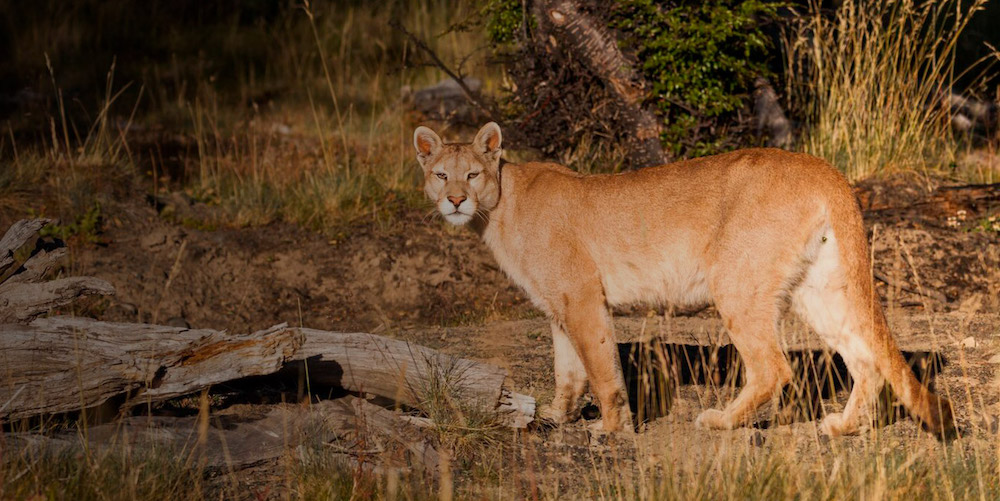 The Awasi Patagonia Puma Foundation