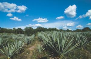 Henequen Plantation, Yucatan Peninsula, Mexico