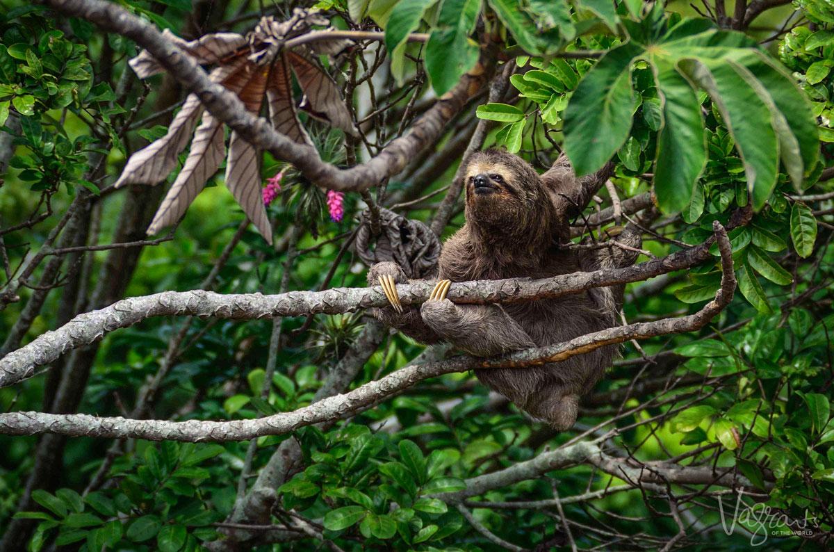Sloth Nicaragua