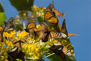 Monarch Butterfly Migration, Michoacan, Mexico