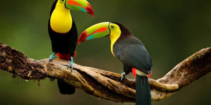 Toucan, Nicaragua