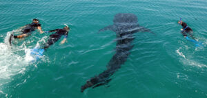 Snorkelling with whalesharks, Mexico