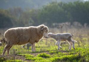 Sheep on Matetic Vineyards , Chile