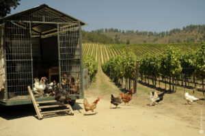 Chickens in the Vineyards at Matetic, Chile