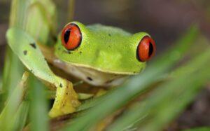 Belize Coast, Frog