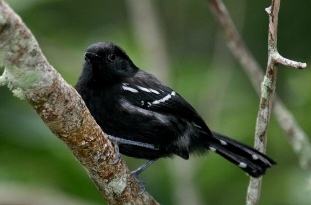 Restinga Antwren, Birding, Brazil