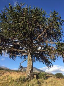 Monkey Puzzle Tree, Caballadas, Argentina