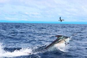 Swordfish Panama
