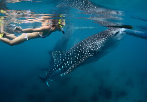 Snorkelling with whale sharks in Panama