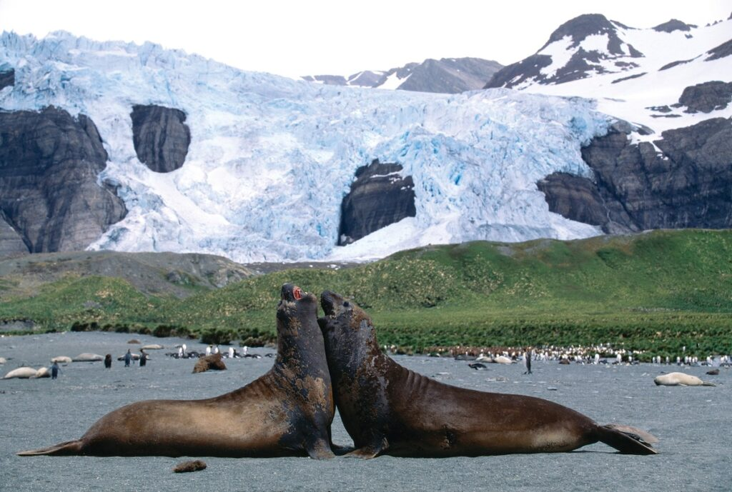Silver Explorer, Antarctic Cruise - Elephant Seals South Georgia