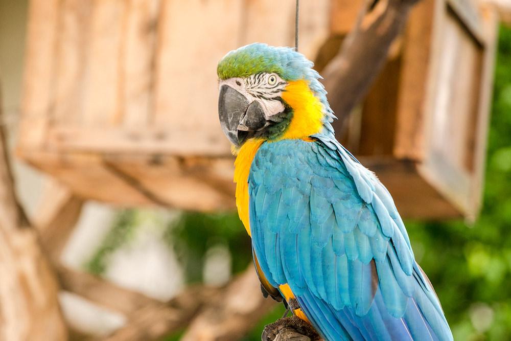 Parrot at Ibitipoca