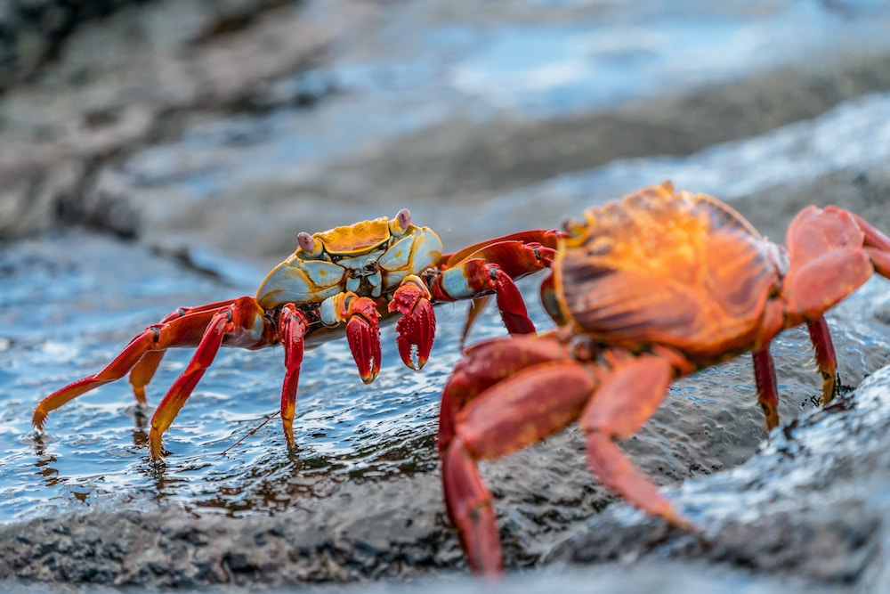 Plan South America | Galapagos crabs
