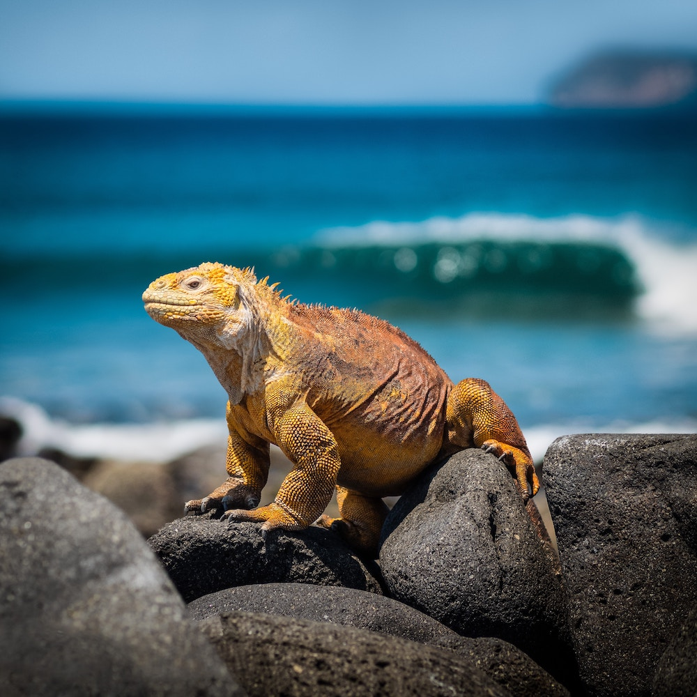 Plan South America | Iguana, Galapagos Islands