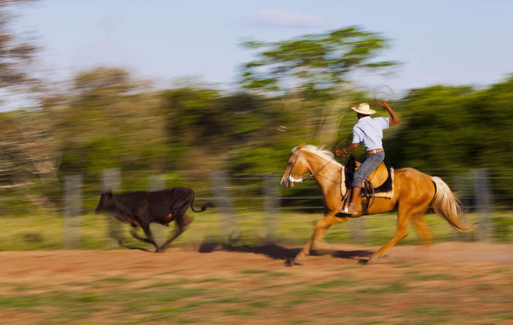 Cattle herding Pantanal