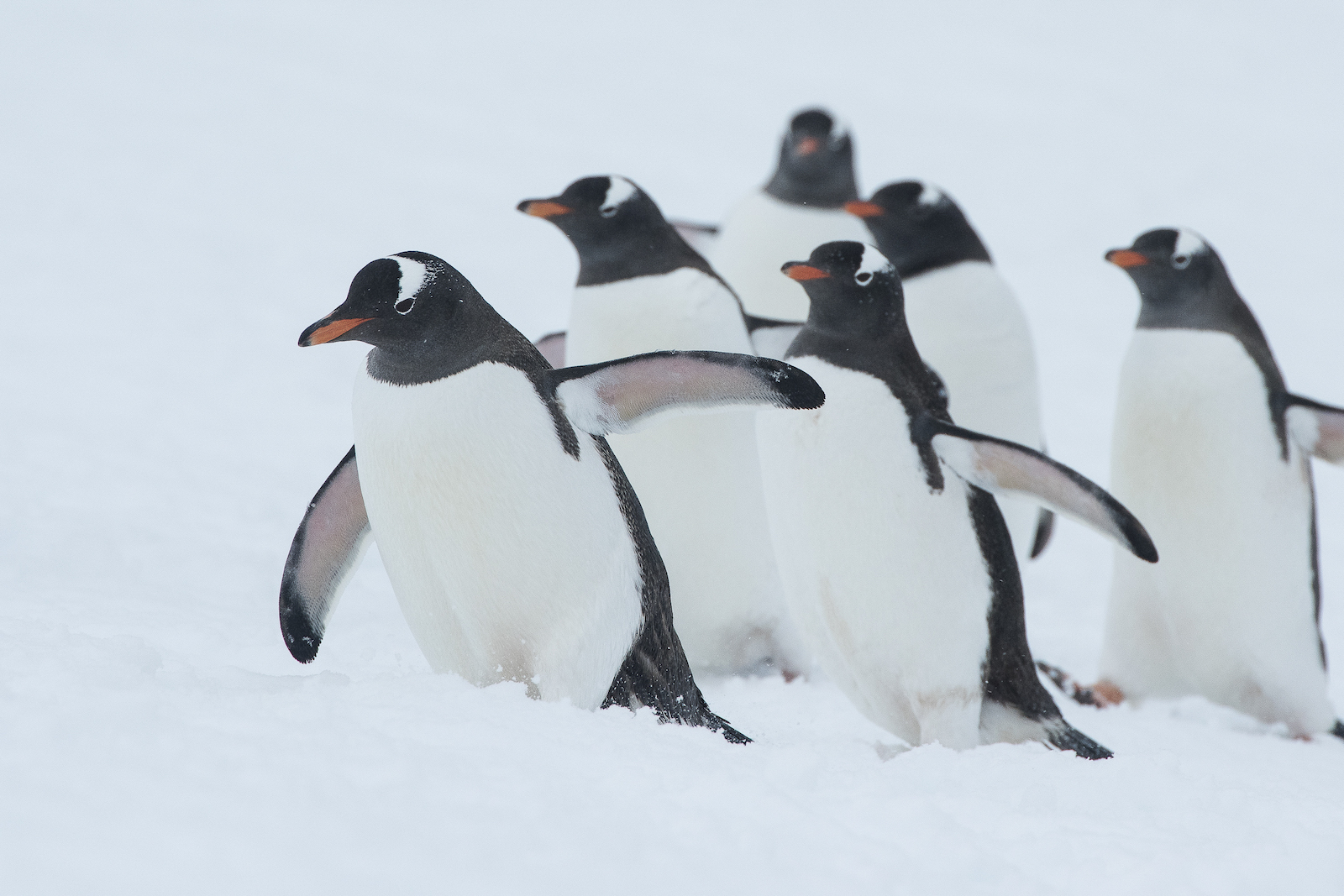 Plan South America   Penguins, Antarctica
